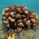 ©-Reef-Ecologic-Pocillopora-Damicornis